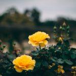 botanic gardens rose