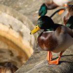 botanic gardens duck